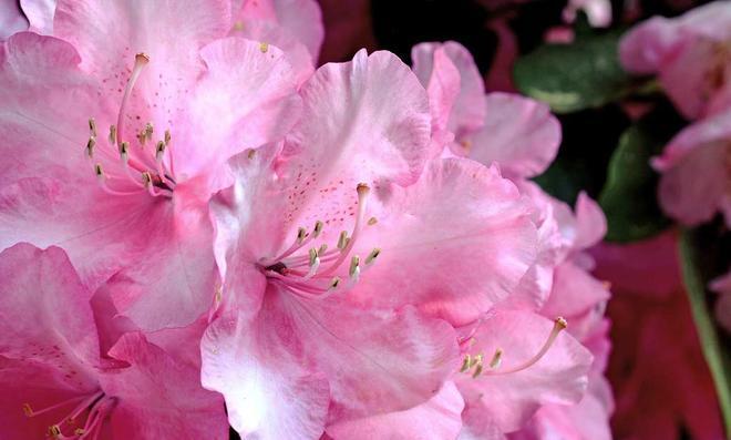 Rosa Rhododendronblüten