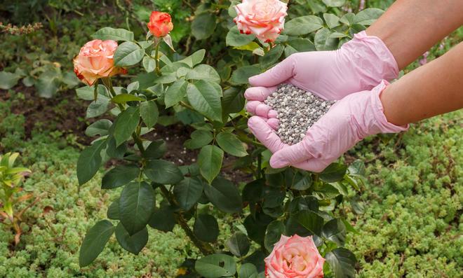 Mit Rosendünger erreichen Sie eine üppige Blütezeit.