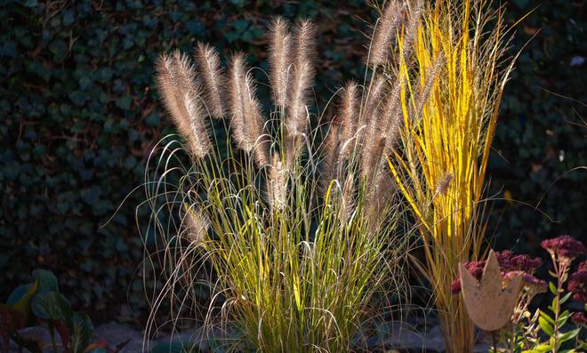 Schilf wird oft am Teichrand oder an Ufern von Seen gepflanzt.