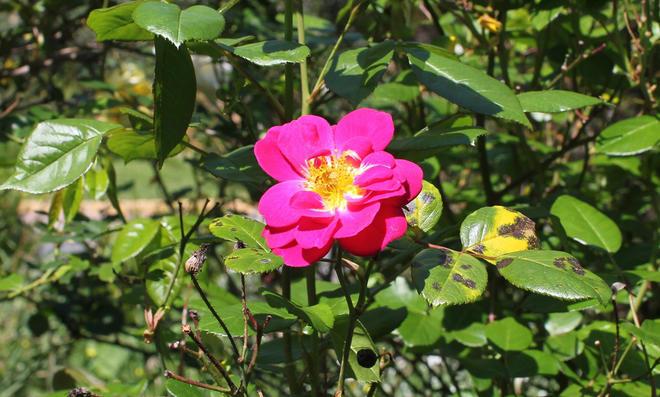 Sternrußtau auf Rosenblättern