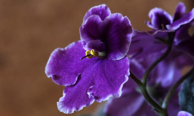 Usambaraveilchen-Blüte mit violetten Blättern