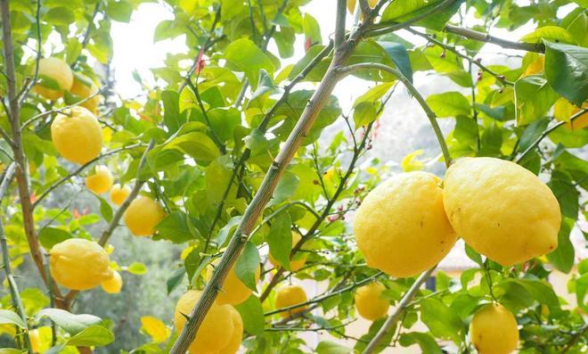 Zitronenbaum pflegen | selbst.de