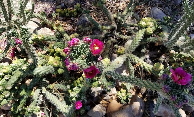 Cylindropuntia mit rosa Blüten