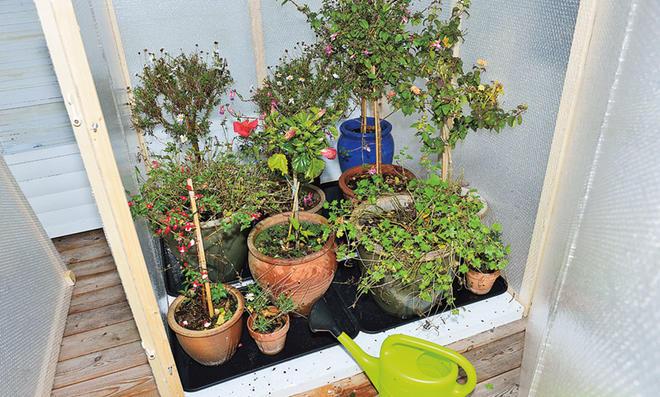 Das müssen Sie jetzt tun, damit Ihre Kübelpflanzen im Gewächshaus überwintern können