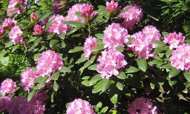 Rosa Rhododendronbusch