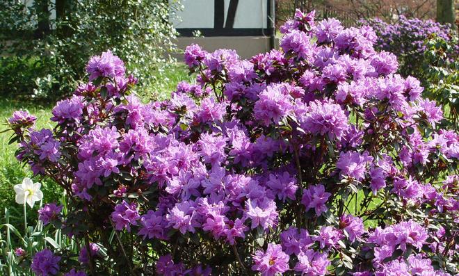 Bekannt Rhododendron-Pflege | selbst.de ED79