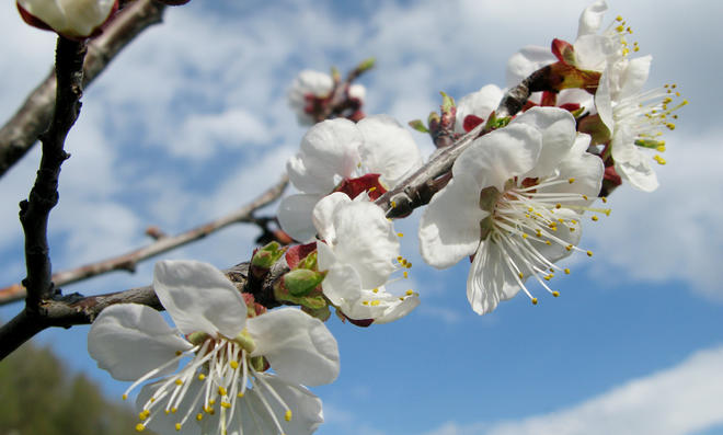 Aprikosenbaum schneiden
