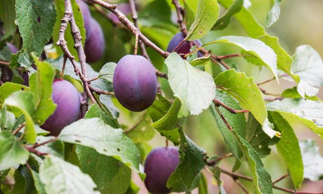 Gut bekannt Pflaumenbaum schneiden | selbst.de LG01