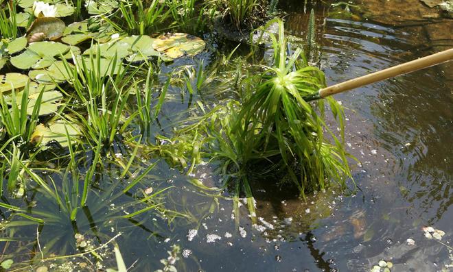 Pflanzenreste im Teich entfernen