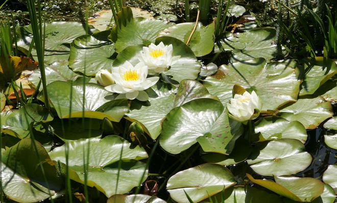Die Blüten der Seerose