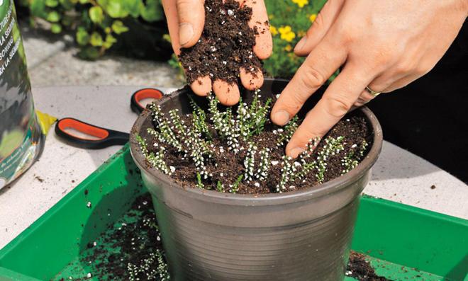 Heidekraut vermehren