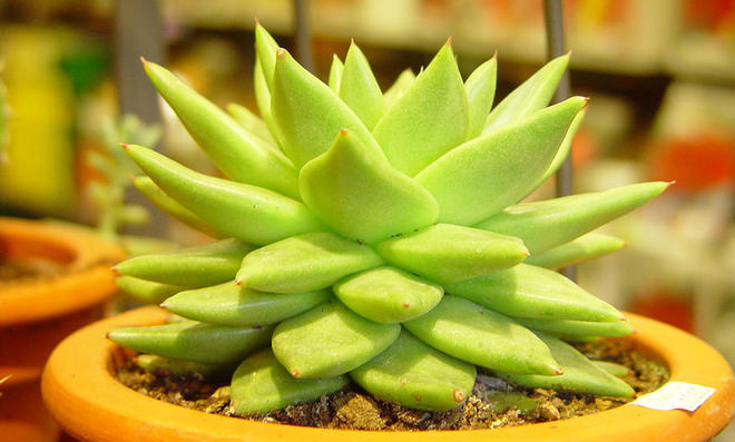 Sukkulenten selbst de ~ 01114943_Sukkulenten Zimmerpflanzen Pflege
