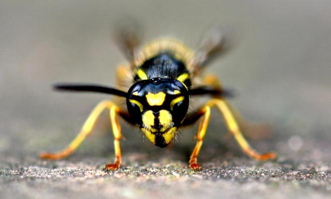 Darum sind Wespen jetzt so aggressiv wie nie!