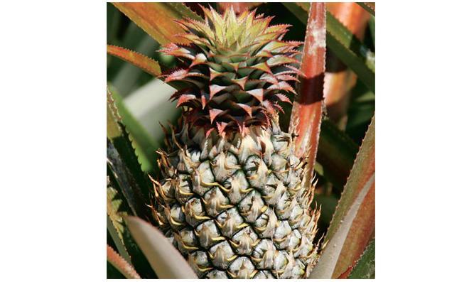 Ananas anpflanzen