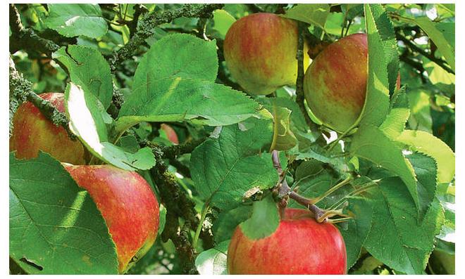 Obstbäume veredeln