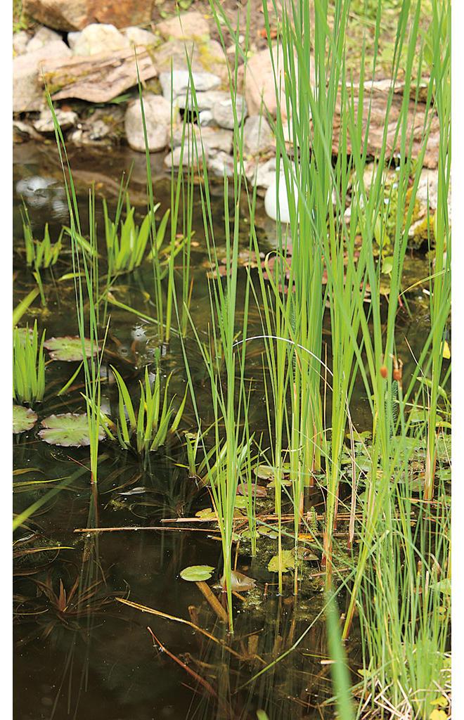 Teich Schilf entfernen selbst de ~ 27032343_Gartenteich Pflanzen Wachsen Nicht