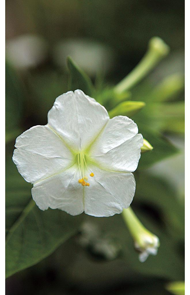 Wunderblume pflegen