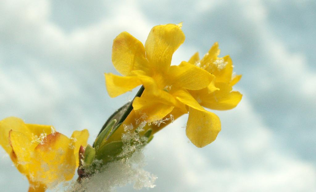Winter-Jasmin im Schnee