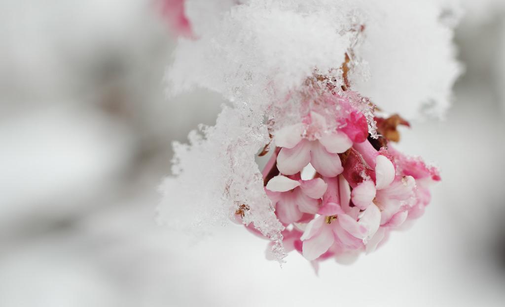 Winter-Schneeball im Schnee